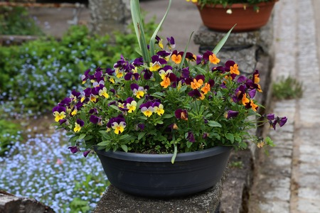 Beautiful bright pansies in the garden near the house.