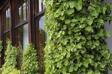 Ivy. creeping shrubs clinging to their adventitious roots of the walls. Stockfoto