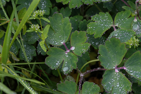 Green foliage is covered with drops of moisture after rain.