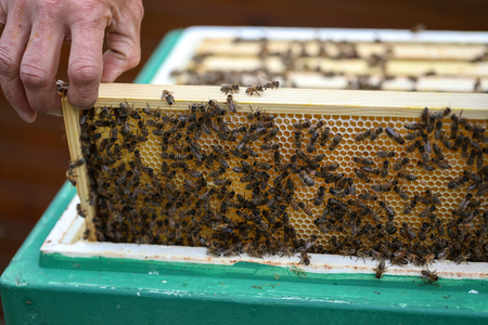 Beekeeper working with bees in the apiary.