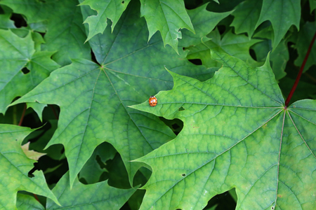 Insect. Ladybird sits on green maple leaves. Banque d'images - 123867497