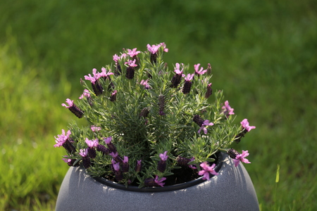 A pot of violet flowers stands on the terrace near the house Banque d'images - 123867502