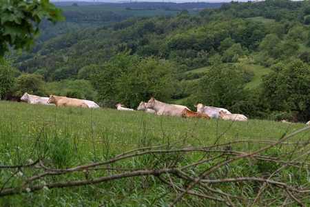 Herd of cows resting on pasture in summer.