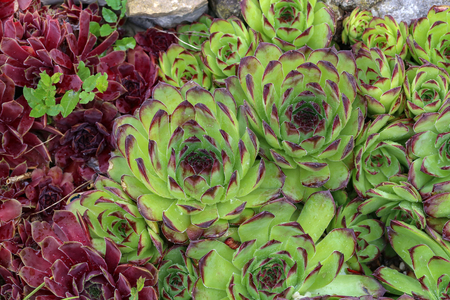 Sempervivum charadzeae, houseleeks or liveforever in spring garden close up