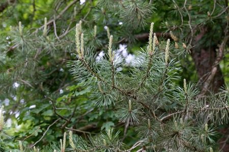 Green pine branch in the coniferous forest. Banque d'images - 123867739