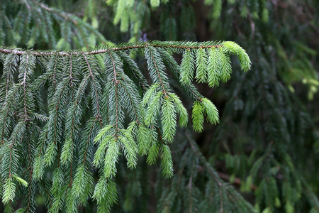 Green pine branch in the coniferous forest. Banque d'images - 123867741