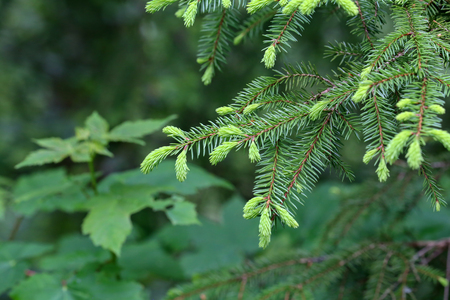 Green pine branch in the coniferous forest. Banque d'images - 123867856