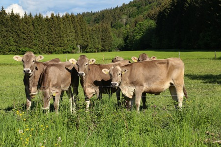 Brown cows in pastures in the foothills of the Alps. Stock Photo
