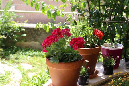 Beautiful bright garden geranium flowers in pot.