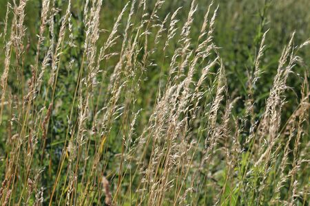 Yellow tall and dry grass on a green background.