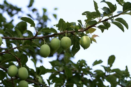 A large green plum matures on the branches of the tree Foto de archivo