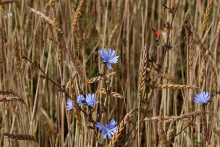 Chicory among the ears on the wheat field