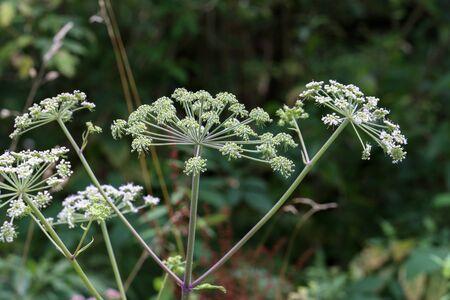 Biała kwitnąca roślina, kminek lub południk kopru włoskiego