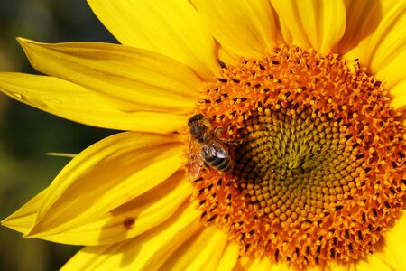 A bee sitting on a flower and collecting nectar