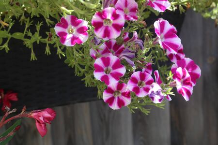 Beautiful bright petunia in the garden near the house.