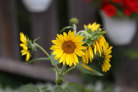 Beautiful bright colored sunflowers and green plants. Stockfoto