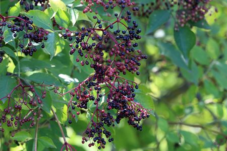 Berries. Green elderberry berries mature on branches.
