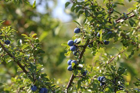 Blue berries of blackthorn ripen on bushes.
