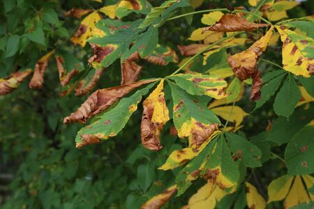 Horse Chestnut tree infested with leaf miner moth trails in the early autumn. 写真素材