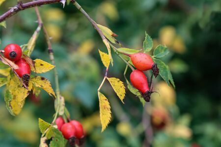 Image of rose hips on a green background.