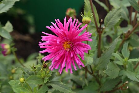 Magenta Color Dalia Flower In The Park.