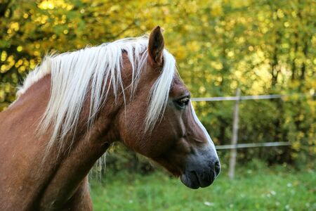 beautiful haflinger horse head portrait while he is running on the paddock