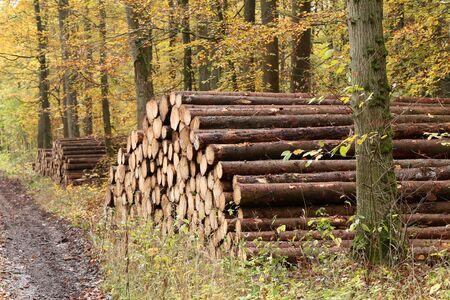 Freshly felled and sawn tree trunks in the forest.