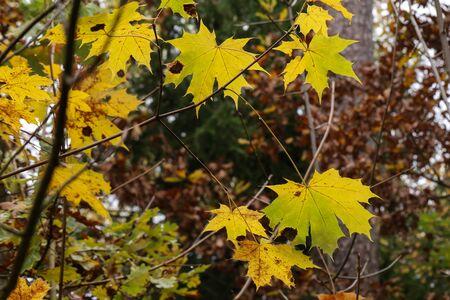 Yellow autumn maple leaves on the tree. Reklamní fotografie