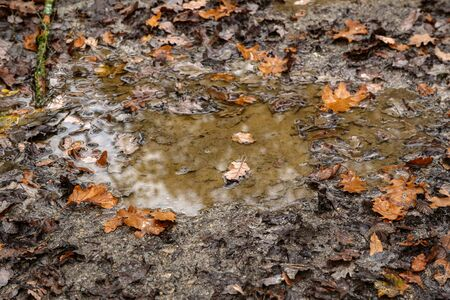 Yellow autumn leaves lie in a puddle in the forest.