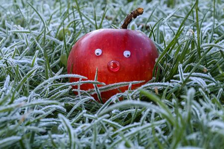 Frosty morning. Beautiful red apple in hoarfrost covered grass. Reklamní fotografie
