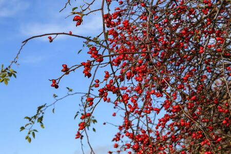 Bright red berries of wild rosehip against the blue sky.