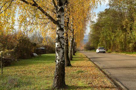 Autumn landscape. Birch alley in autumn time.