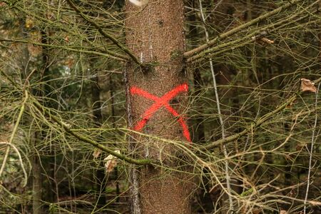Pine tree in forest marked with red X to be cut down.
