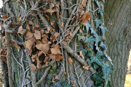 Hedera helix - Green ivy weaves a tree trunk 스톡 콘텐츠