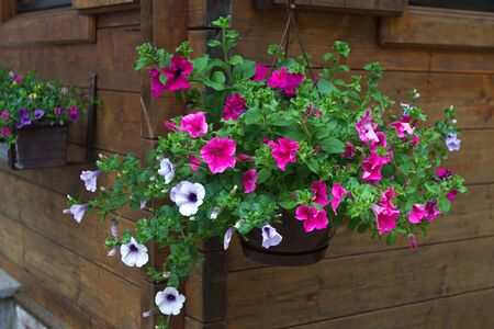 A pot with a flowering petunia is suspended against a wall