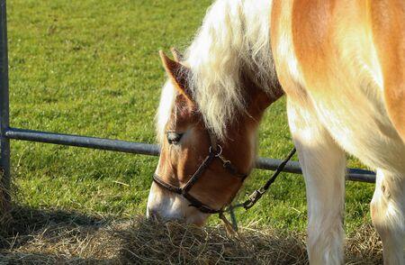 beautiful haflinger horse head portrait on the paddock Фото со стока
