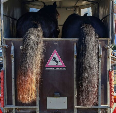 Horse trailer and two horses ready to travel
