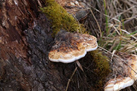 Mushroom tinder fungus on a tree close-up - medical drug