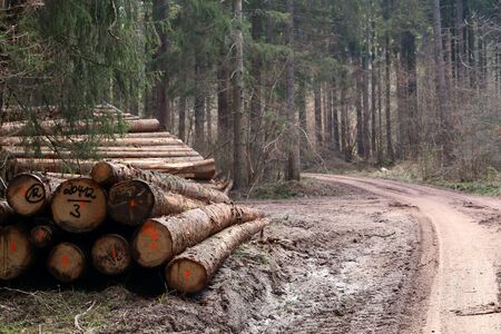 Freshly cut trees in the forest, on the side of a forest road. Stock Photo