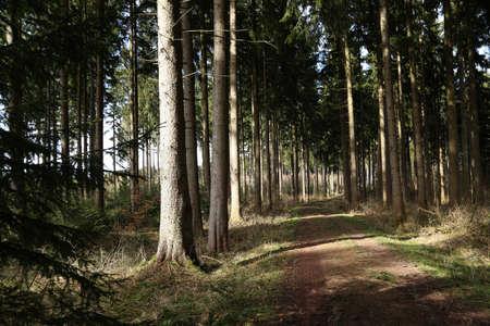 Forest with tall fir trees and forest road.