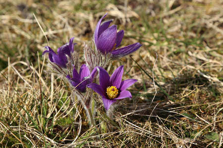 Beautiful purple fluffy flower Oriental Pulsatilla patens pasqueflower. Standard-Bild