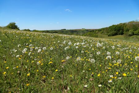 Beautiful large green meadow with white flowered dandelions Imagens