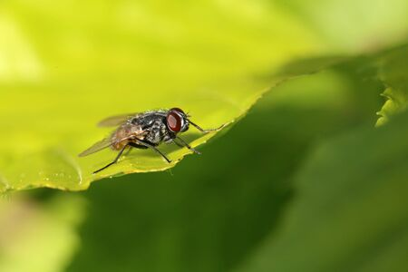 A garden fly is resting on a leaf. Banque d'images