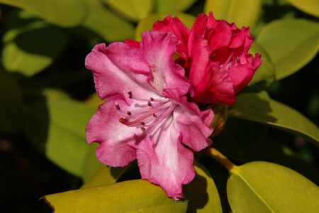 Rhododendron blooming flowers in the spring garden Standard-Bild