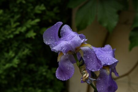 Iris after rain is covered with water drops. Standard-Bild
