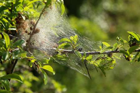 Nesting web of buterfly caterpillars hanging from the branches of a tree.