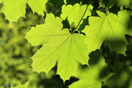 Maple leaves on the outside nature background