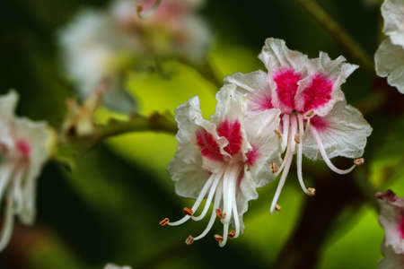 Horse Chestnut - Aesculus hippocastanum Closeup of flowers.