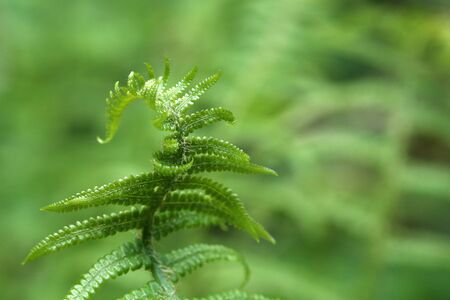 Wild young shoots of Pteridium aquilinum fern. 版權商用圖片