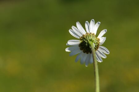 Soft white daisies bloom in summer field. Standard-Bild